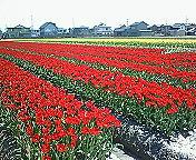 畑のチューリップ