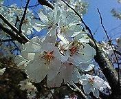 サクラ、咲いてます